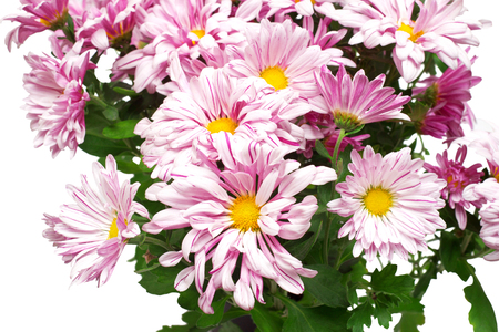 marguerite: Bouquet of pink chrysanthemums isolated on white background. Flowers. Flat lay, top view