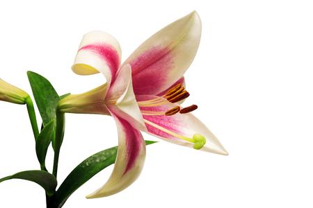 Pink tubular lily isolated on white background Stock Photo