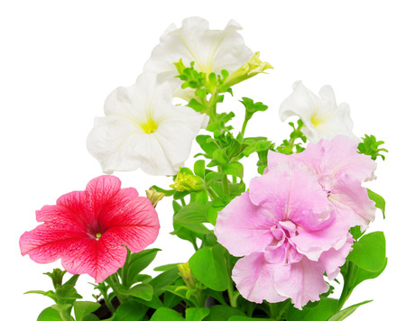 Beautiful flowers of pink and white petunias. Flowers card