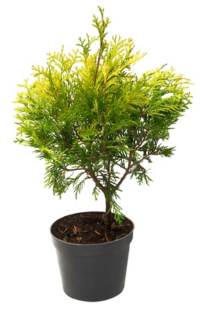 thuja occidentalis: Beautiful golden Thuja in the form of a ball isolated on white background. Arborvitae.