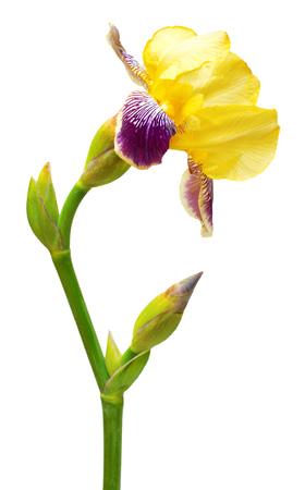 Yellow-purple iris isolated on white background. Flowers card Imagens