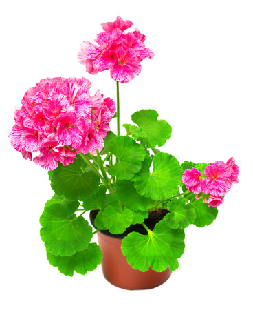 geranium color: Pelargonium flower in pink flower pot isolated on white background. Flowers card