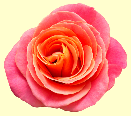Beautiful rose isolated on white background. Retro filter. Vintage. Flat, top view Stock Photo