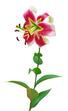 Beautiful pink lily flower isolated on white background. Red flowers Stock Photo