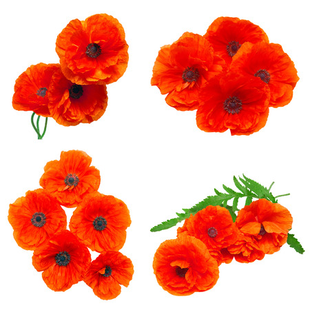 Collection poppy red flowers isolated on white background flat collection poppy red flowers isolated on white background flat lay top view stock photo mightylinksfo