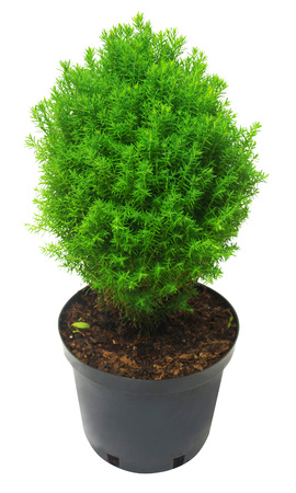 thuja occidentalis: Juniper in a pot isolated on white background. Flat lay, top view