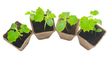 turba: Seedlings of cucumber isolated on white background. Organic agriculture