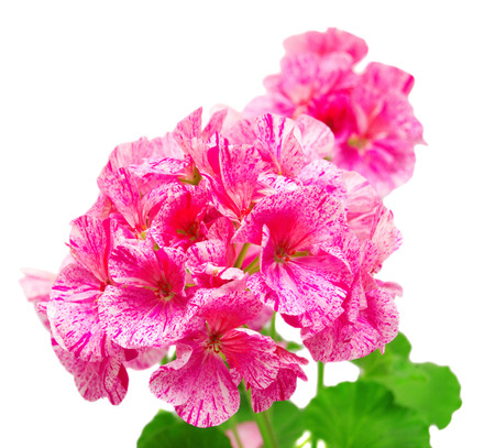 geranium color: Pelargonium flower pink isolated on white background. Flowers card
