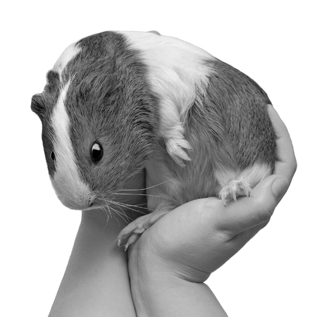 Beautiful guinea pig on hand isolated on white background Stock Photo