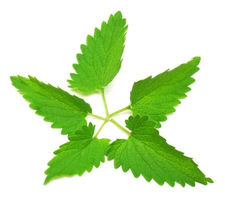 Fresh melissa leaf isolated on white background. Tea. Mint
