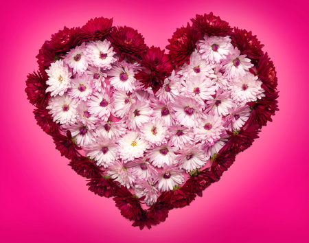 heart shaped: Heart from chrysanthemum flowers on a pink background. Valentines Day. Love. Flat lay, top view. Stock Photo