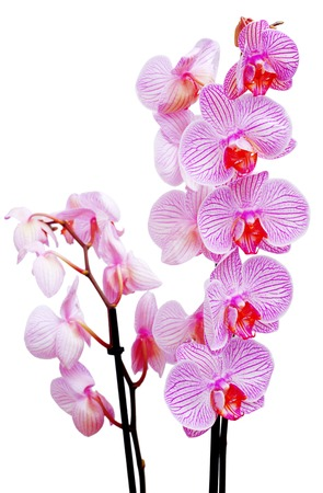 Pink orchid isolated on white background. Flowers. Valentines Day. Woman. Love. Easter