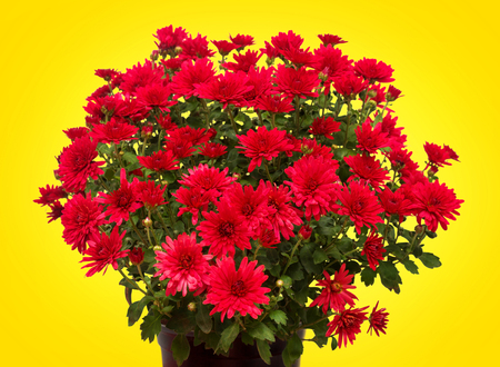 marguerite: Chrysanthemums on a yellow background. Flat lay, top view. Flower. Easter