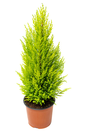 thuja occidentalis: Cypress in pot isolated on white background. Coniferous trees