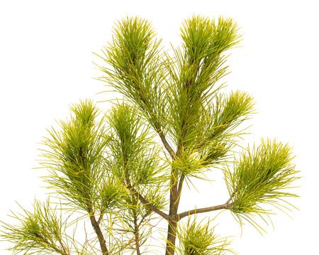 Pinus strobus pine isolated on white background. Coniferous trees Stock Photo