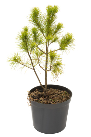 Pinus strobus pine in a pot isolated on white background. Coniferous trees