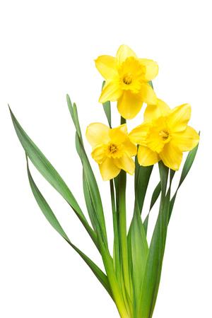 白い背景に分離された黄色の水仙花の花束。フラット横たわっていた、トップ ビュー