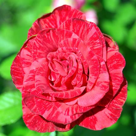 Beautiful pink vintage rose flower. Wedding card Stock Photo