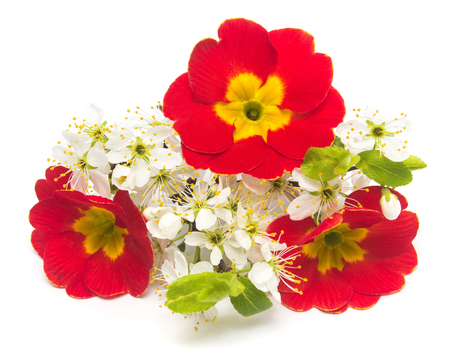 Flowers primrose and blooming plum isolated on white background. Spring. Flat lay, top view. Easter Stock Photo