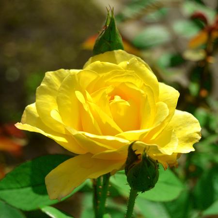 Beautiful yellow vintage rose flower. Wedding card