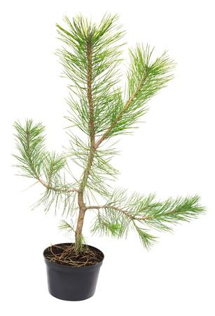 Pine Black Pinus nigra in a pot isolated on white background Stock Photo
