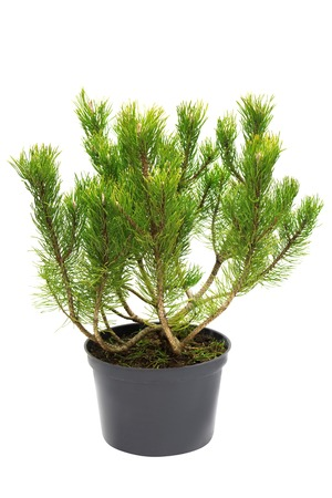 Pine Pinus mugo in a pot isolated on white background Stock Photo