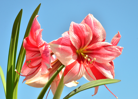 A bouquet of amaryllis pink flowers on a blue sky background. Flowering, spring, beautiful. Hippeastrum Gervase Stock Photo