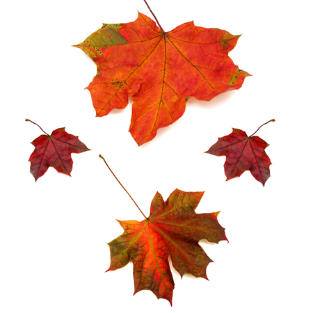 discolored: Collection of maple leaves isolated on white background. Flat lay, top view