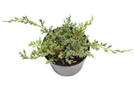 thuja occidentalis: Juniperus horizontalis Blue Chip in a pot isolated on white background. Coniferous trees. Flat lay, top view