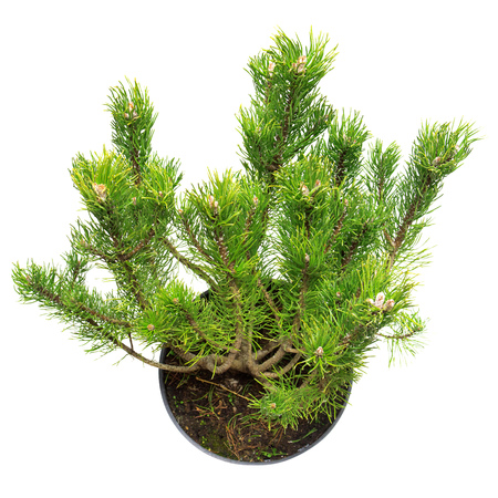 mugo: Pine Pinus mugo in a pot isolated on white background Stock Photo