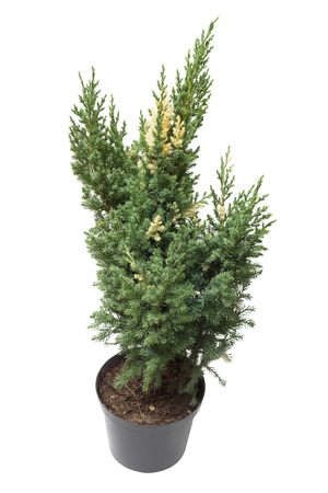 thuja occidentalis: Juniperus chinensis Stricta Variegata in a pot isolated on white background. Coniferous trees. Flat lay, top view