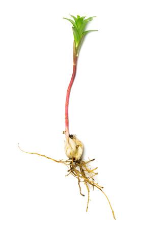 turba: Flores de lirio de plántula con raíces y bulbo aislado sobre fondo blanco Foto de archivo