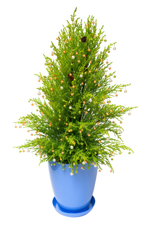 Christmas tree cypress in a pot decoration with balls, pine cones isolated on white background