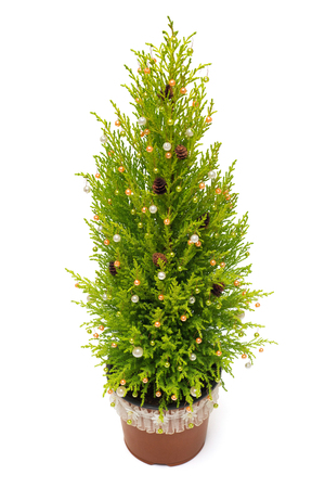 thuja occidentalis: Christmas tree cypress in a pot decoration with balls, pine cones and ribbon isolated on white background