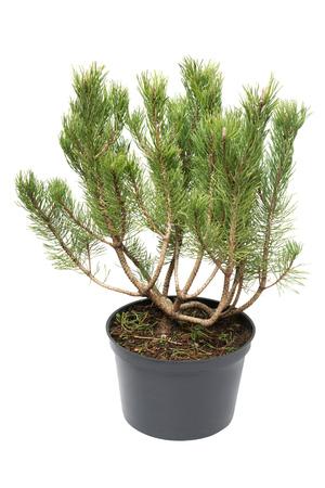 Pine Pinus mugo in a pot isolated on white background Stock Photo