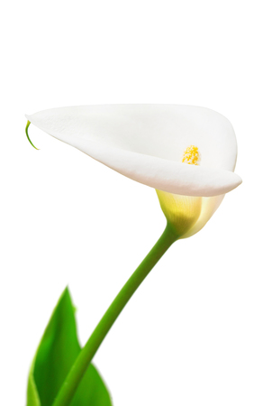 White flower calla isolated on white background