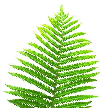 Fern leaf macro isolated on white background. Green