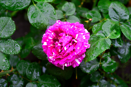 Flowers roses with drops in the garden on a lawn background. A lot of greenery and a flower bed. Landscape design. Nature. Perennial plants