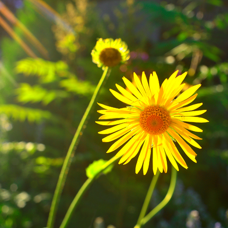 A flower of a yellow daisy in the garden against the background of sunset and sun