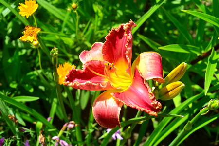 Beautiful flowers of the daylily in the garden against the background of a lawn and daisies. Flowerbeds