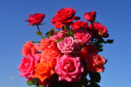 Beautiful bouquet of flowers roses in the garden on a blue sky background. A lot of greenery and a flower bed. Landscape design. Nature. Perennial plants