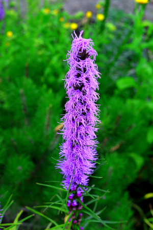 Liatris flowers in the garden on the flowerbeds against background of grass. Bloom, nature Stock Photo