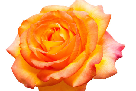 Beautiful yellow rose flower isolated on white background. Flat lay, top view . Macro Stock Photo