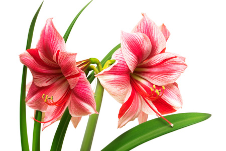 Amaryllis pink flowers isolated on white background. Flowering, spring, beautiful. Hippeastrum Gervase. Macro