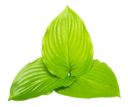 Three leaf hosta isolated on white background. Large leaves. Flat lay, top view Stock Photo