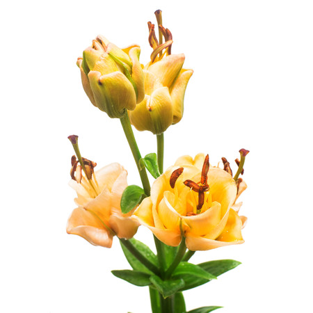 Flowers bouquet of lily Apricot Fudge reminds a rose isolated on white background Stock Photo
