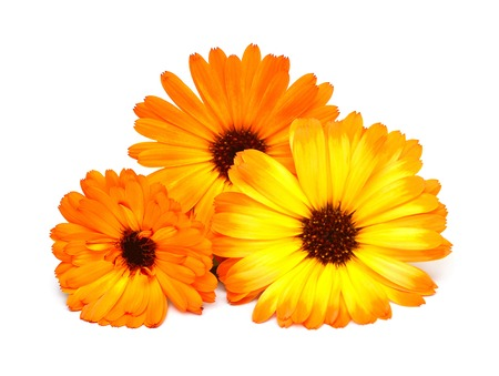 Flowers of calendula officinalis bouquet with leaves isolated on white background. Marigolds, medicinal plants. Golden petals