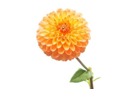 Flower of beautiful orange dahlia macro nature isolated on white background. Botanical, concept, flora, idea. Pompom form