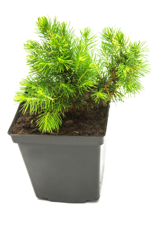 A small seedling of Canadian spruce conic in a pot isolated on white background. Coniferous tree, fir, evergreen Stock Photo