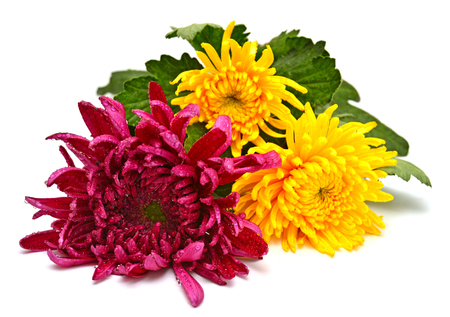 Flowers beautiful bouquet of chrysanthemums isolated on white background. Flat lay, top view